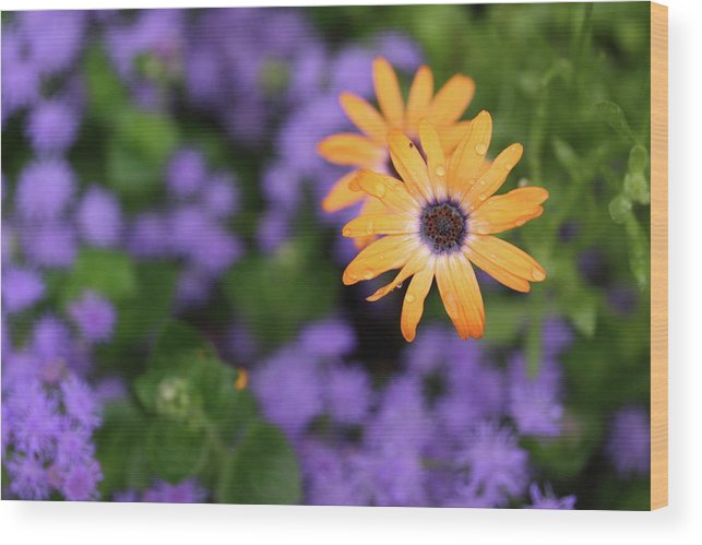 Flowers Wood Print featuring the photograph Yellow And Purple by Rick Berk
