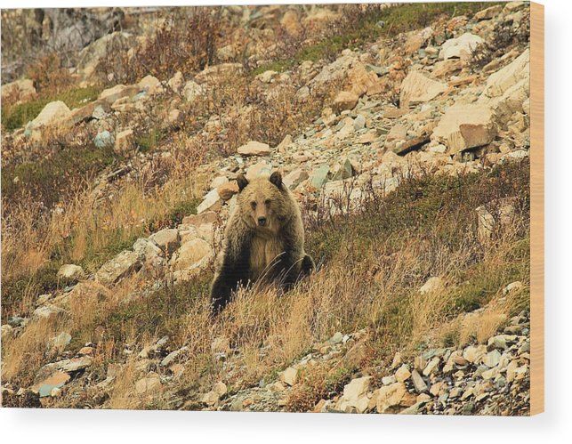 Grizzly Bear Wood Print featuring the photograph You Want My Photo? by Adam Jewell