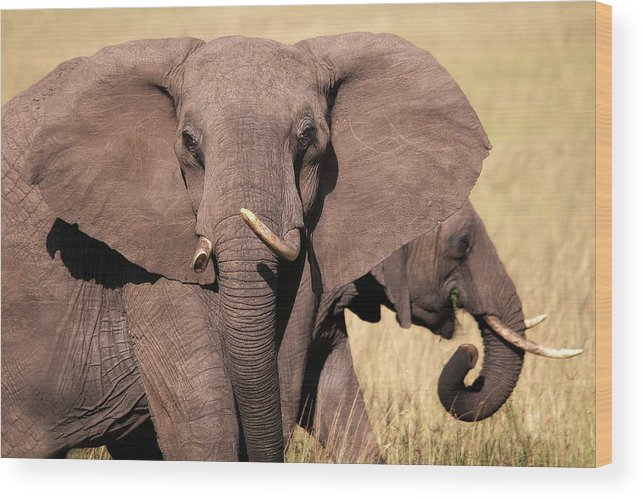 Elephant Wood Print featuring the photograph 1-elephant by Michel Legare