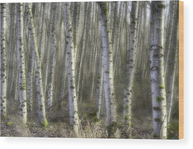 Birch Trees Wood Print featuring the photograph Afternoon Birch Trees by Kevin Felts