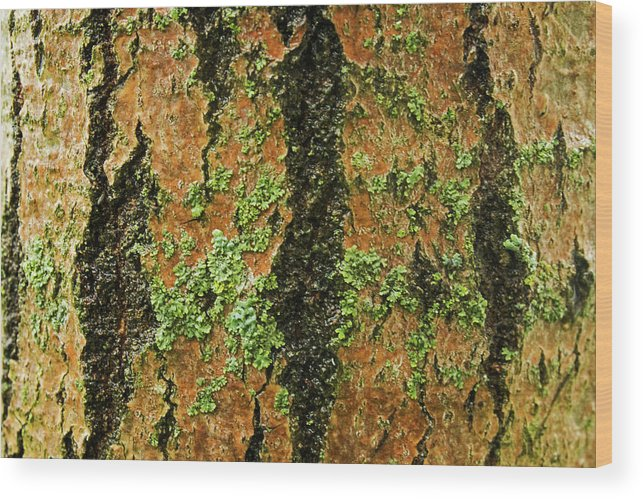 Abstract Wood Print featuring the photograph Aspen Bark After The Rain by Ira Marcus