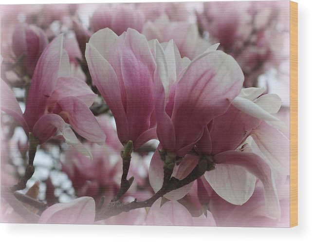 Magnolia Wood Print featuring the photograph Blooming Pink Magnolias by Dora Sofia Caputo Photographic Design and Fine Art