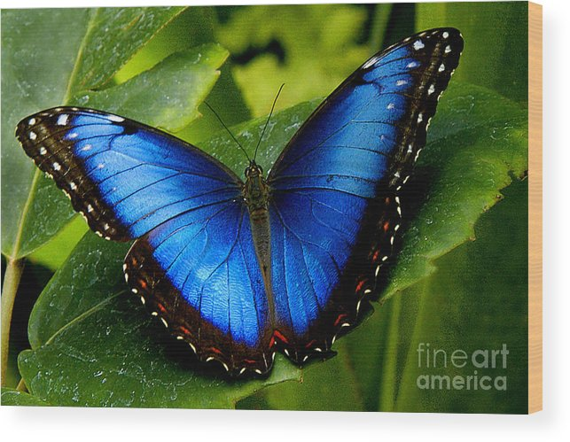 Butterfly Wood Print featuring the photograph Blue Morpho by Neil Doren