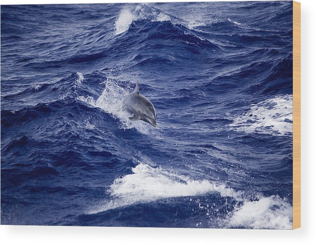 Bottlenose Dolphins Wood Print featuring the photograph Bottlenose Dolphin Tursiops Truncatus by Tim Laman