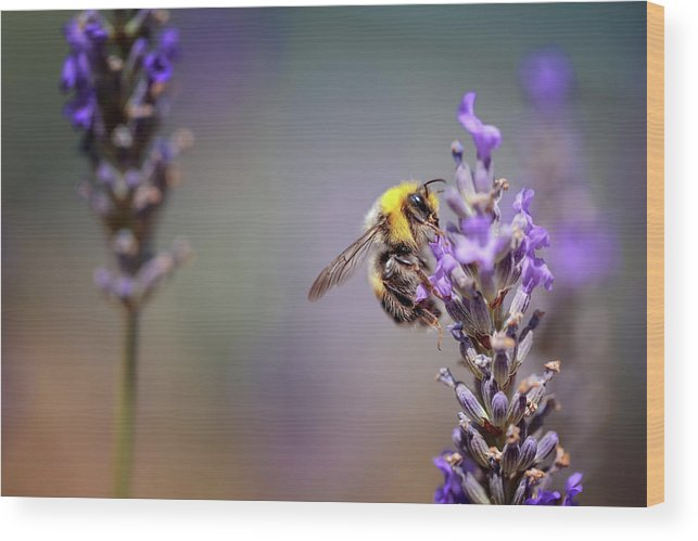 Lavender Wood Print featuring the photograph Bumblebee And Lavender by Nailia Schwarz