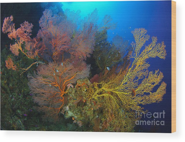 Anthozoa Wood Print featuring the photograph Colorful Assorted Sea Fans And Soft by Steve Jones