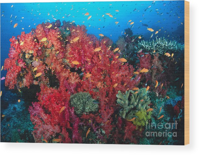 Alcyonarian Wood Print featuring the photograph Coral Reef Scene by Dave Fleetham - Printscapes