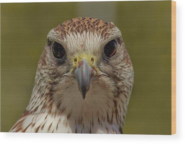 Falcon Eye Wood Print featuring the photograph Falcon Eye by Joao Carrasco