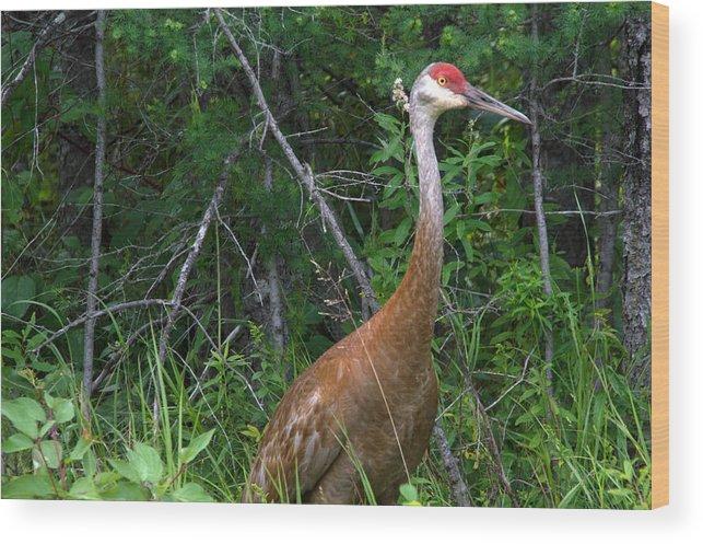 Seney National Wildlife Refuge Wood Print featuring the photograph Getting Close by Linda Kerkau
