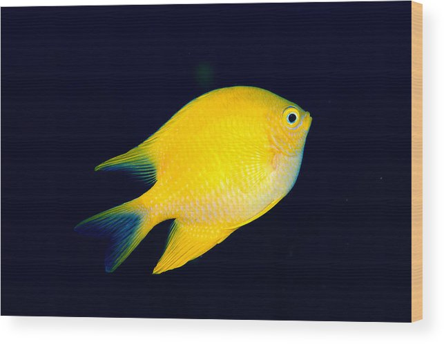 30-pfs0131 Wood Print featuring the photograph Golden Damselfish by Dave Fleetham - Printscapes