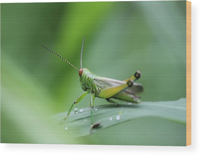 Wood Print featuring the photograph Grasshopper by Arnab Mukherjee