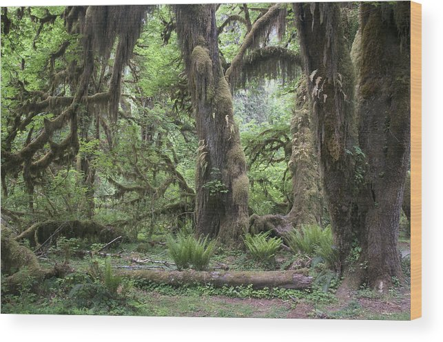 Hoh Wood Print featuring the photograph Hoh Rain Forest 3381 by Bob Neiman