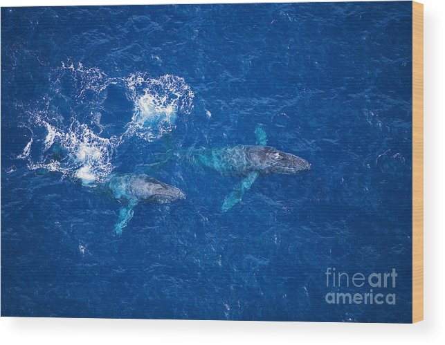 Above Wood Print featuring the photograph Humpback Whales Aerial by Ron Dahlquist - Printscapes