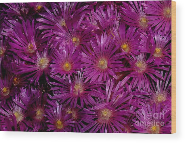 Ice Plant Wood Print featuring the photograph Ice Plant by Patrick Short