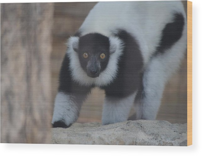 Wildlife Wood Print featuring the photograph Lemur by Brad Kennedy