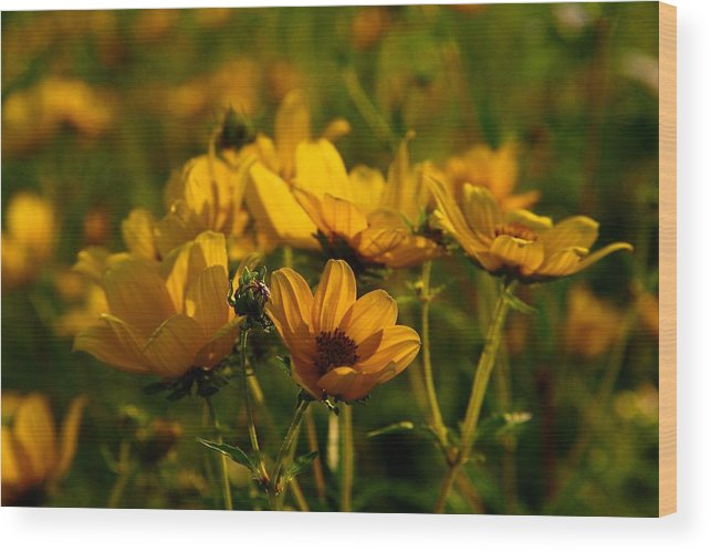 Maximilian Wood Print featuring the photograph Maximilian Sunflowers by Kathryn Meyer