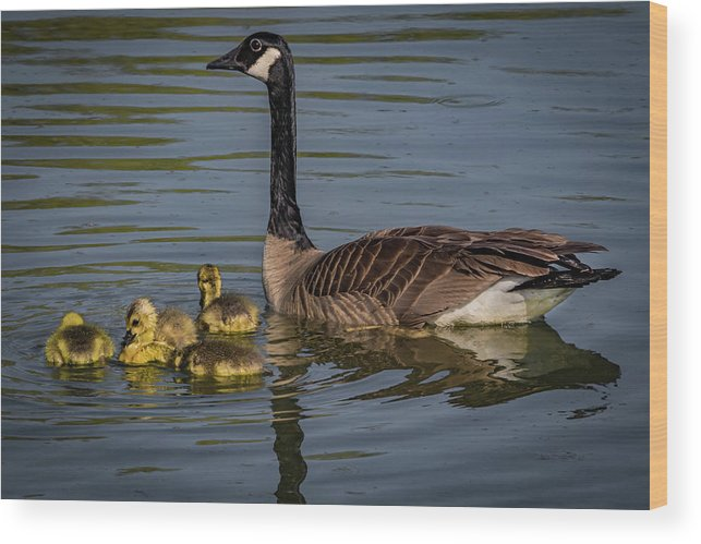 Branta Canadensis Wood Print featuring the photograph Mother Goose by Ray Congrove