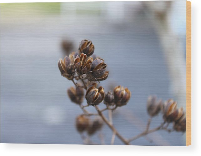 Seed Pods Wood Print featuring the photograph Pods by Evelyn Patrick