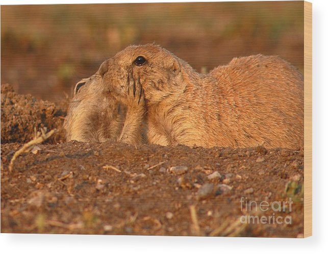 Prairie Dog Wood Print featuring the photograph Prairie Dog Tender Sunset Kiss by Max Allen