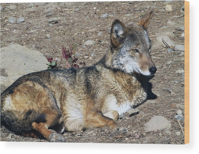 Wolf Wood Print featuring the photograph Resting Wolf by Karol Livote