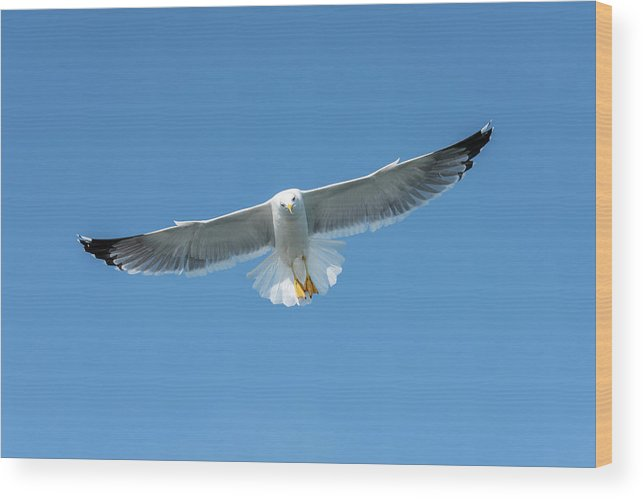 Seagull Wood Print featuring the photograph Seagull by Nicola Simeoni