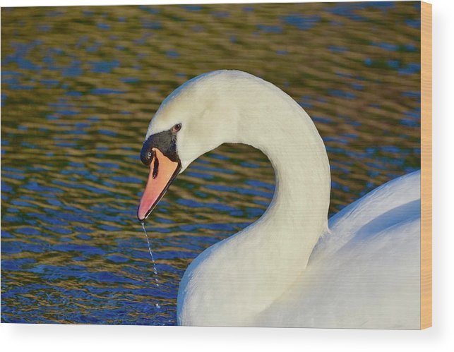 Mute Swan Wood Print featuring the photograph Swan 8 by Melanie Lewis