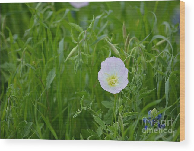 Texas Primrose Prints Wood Print featuring the photograph Texas Primrose by Ruth Housley