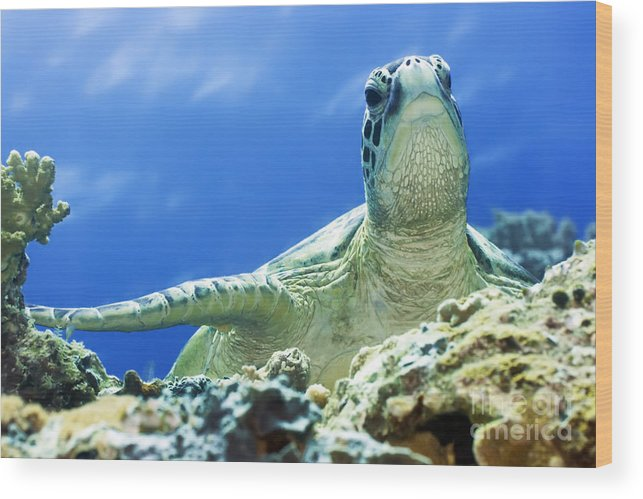 Turtle Wood Print featuring the photograph Turtle by MotHaiBaPhoto Prints