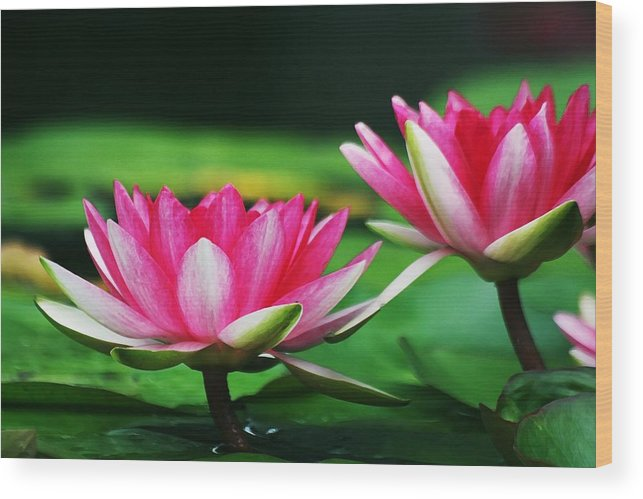 Flower Wood Print featuring the photograph Water Lilies by Jim Darnall