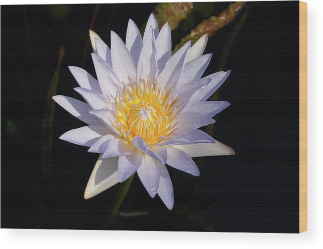 Water Lily Wood Print featuring the photograph White Water Lily by Steve Stuller