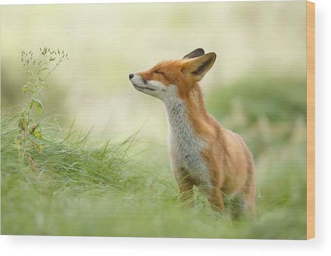 Fox Wood Print featuring the photograph Zen Fox Series - Zen Fox by Roeselien Raimond