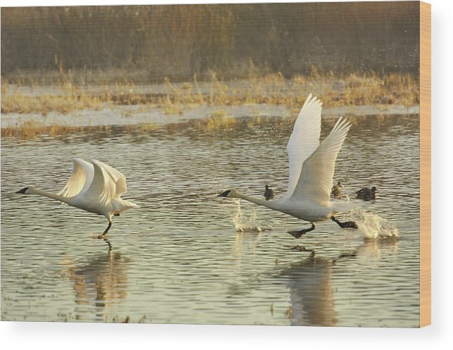 Trumpeter Swans Wood Print featuring the photograph 100 Yard Dash by Diane Smith
