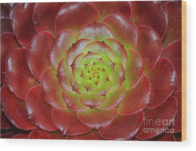 Succulent Wood Print featuring the photograph Succulent by Patrick Short