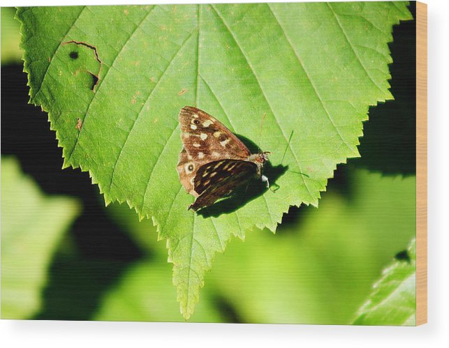 Butterfly Wood Print featuring the photograph Butterfly by Frances Lewis