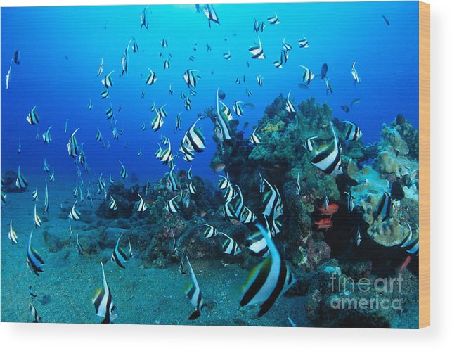 Animal Art Wood Print featuring the photograph Hawaiian Reef Scene by Dave Fleetham - Printscapes