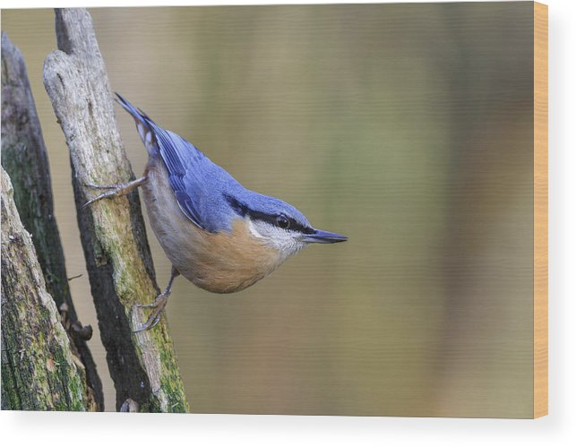 Animal Wood Print featuring the photograph Nuthatch -- by Chris Smith