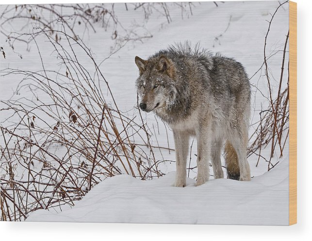 Michael Cummings Wood Print featuring the photograph Timber Wolf In Winter by Michael Cummings