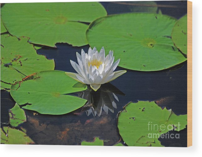 White Water Lily Wood Print featuring the photograph 2- White Water Lily by Joseph Keane
