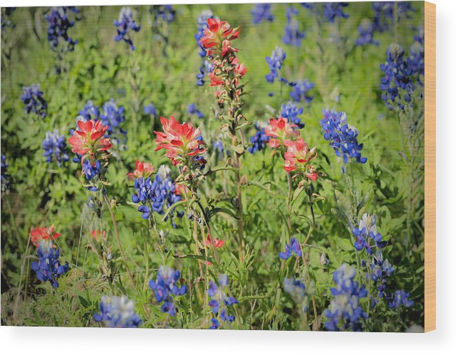 Early Morning; Spring; Texas; Hill Country; 2017; 2010s; March; Texas Bluebonnets; Wild Flowers; Indian Paint Brush; Blooms; Blossoms; Flowers; Central Texas Hill Country; Castilleja Indivisa; Lupinus Texensis; Aspect Ratio 2:3; Format 2:3; Color Images; Color Photo; Color Photograph; Color Pictures; Horizontal Format; Orientation Landscape Wood Print featuring the photograph 201703300-068 Indian Paintbrush Blossom 2x3 by Alan Tonnesen