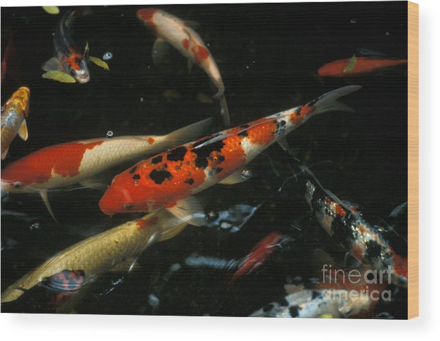 Koi Wood Print featuring the photograph The Koi Pond by Marc Bittan