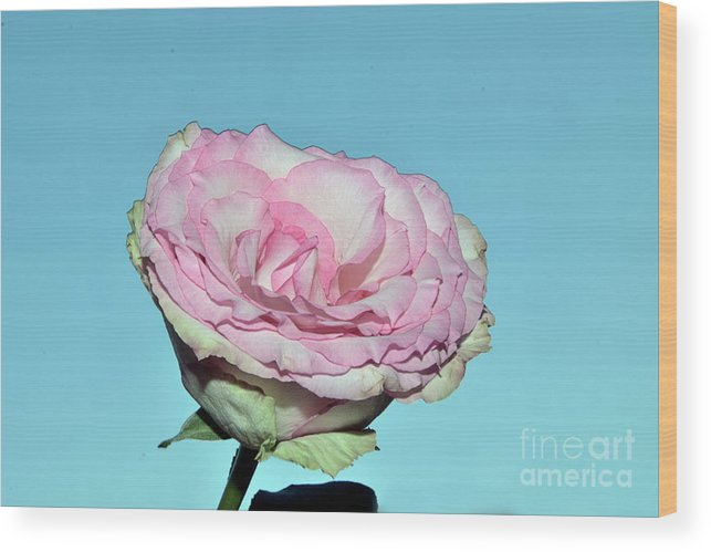 Flowers Wood Print featuring the photograph Beautiful Rose by Elvira Ladocki