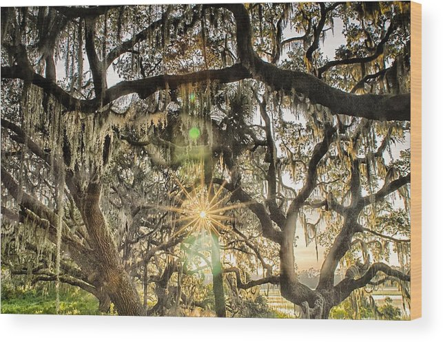 Tree Wood Print featuring the photograph Live Oak Tree With Quercus Virginiana And Spanish Moss At Sunset by Alex Grichenko