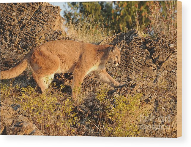 Mountain Lion Wood Print featuring the photograph Mountain Lion by Dennis Hammer