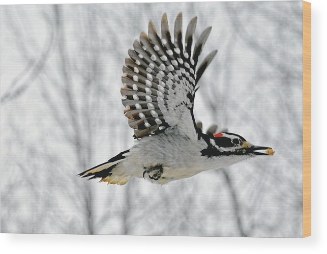 The Hairy Woodpecker in-flight by Asbed Iskedjian