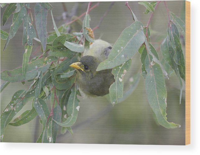 Bellbird Wood Print featuring the photograph Bellbird by Masami Iida