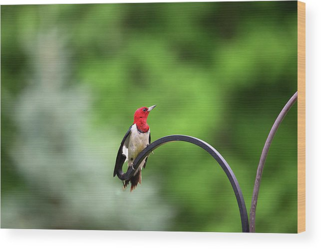 Red Headed Woodpecker Wood Print featuring the photograph Red by Linda Kerkau