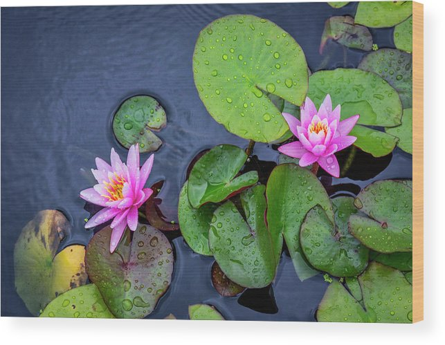 Lily Pad Wood Print featuring the photograph 4432- Lily Pads by David Lange