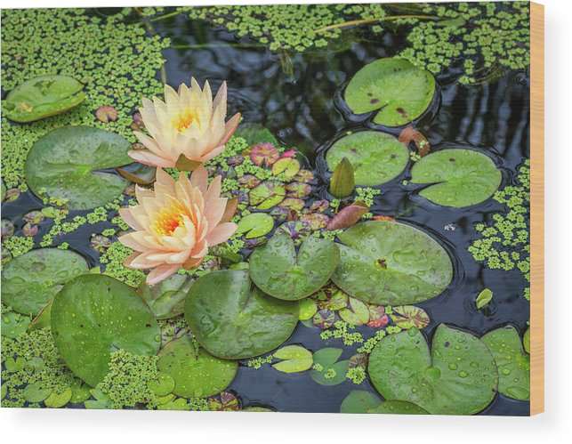 Lily Pad Wood Print featuring the photograph 4445- Lily Pads by David Lange