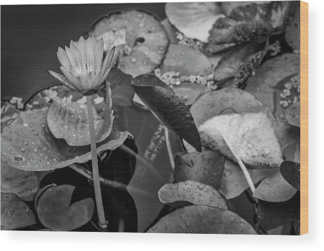 Lily Pad Wood Print featuring the photograph 4466- Lily Pads Black And White by David Lange