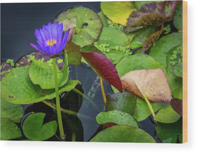 Lily Pad Wood Print featuring the photograph 4466- Lily Pads by David Lange